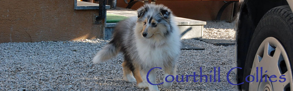 Courthill Collies